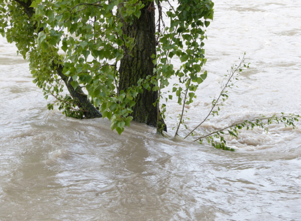 Photo of floodwater flowing around a tree.